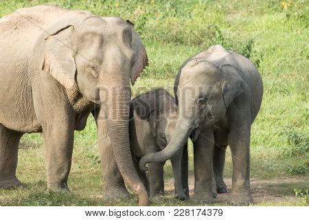 Asiatic Elephant Is Big Five Animal In Asia