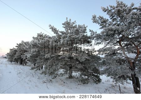 Winter Landscape With Pine Trees Covered With Frost