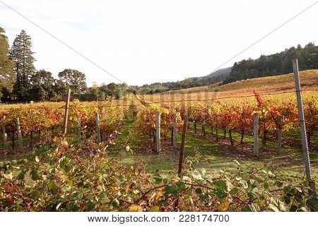 Beautiful Scenic Vineyard Field In Sonoma County Wine Country At Jack London State Historic Park, Gl