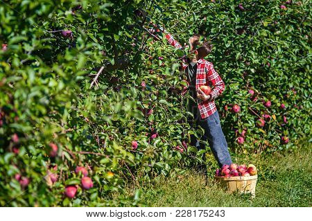 Boy Picks Apples In The Orchard. Apple Picking At The Farm. Copy Space For Your Text