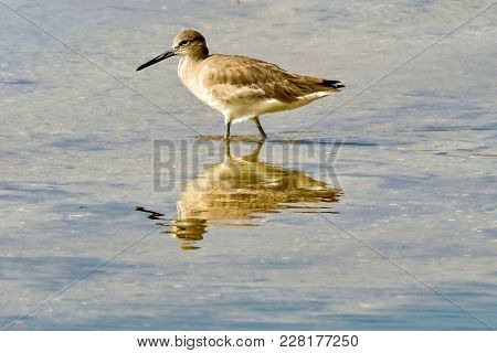 Willet Wading In Reflective Water In Florida