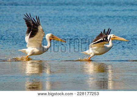 Two American White Pelicans Taking Flight Over Lake In Florida