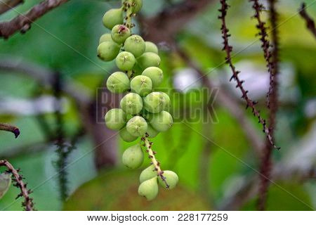 Sea Grapes In Sanibel Island In Wooded Area