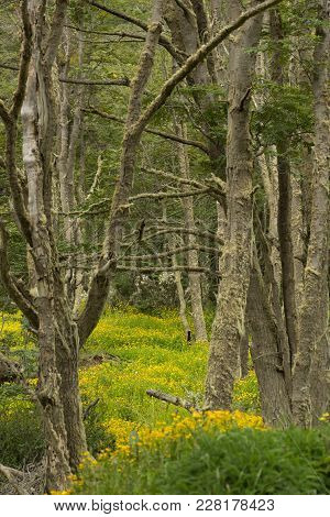 A Forest Of Deciduous Trees With Moss On Their Trunks And Yellow Buttercup Flowers On The Forest Flo