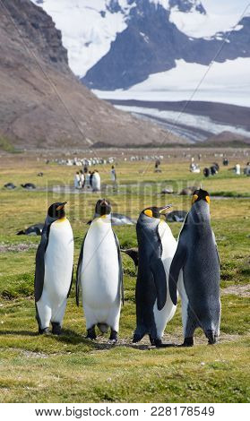 A Quartet Of King Penguins With More Penguins And Rugged, Snowy Mountains In The Background