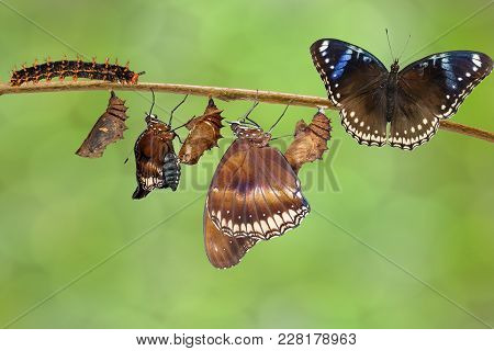 Transformation Of Female From Caterpillar To Great Eggfly Butterfly ( Hypolimnas Bolina Linnaeus ) O