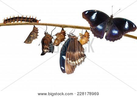 Isolated Transformation Of Male From Caterpillar To Great Eggfly Butterfly ( Hypolimnas Bolina Linna