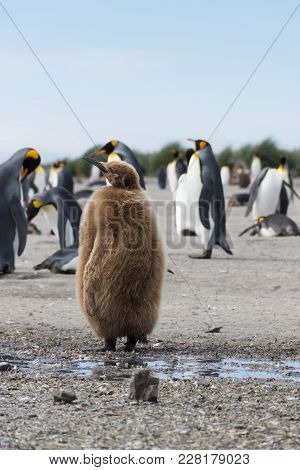 A Stout Juvenile King Penguin Or Oakum Boy With Its Brown Downy Feathers Standing Away From The Adul