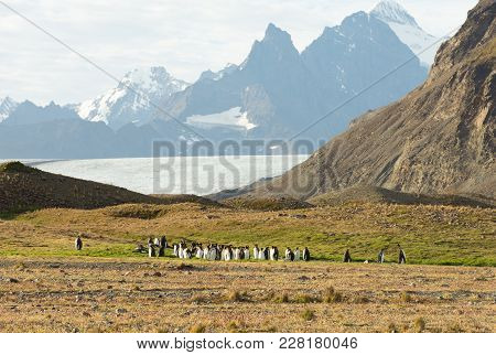 A Colony Of King Penguins With Dried Grass In The Foreground. Some Penguins Are Molting. Rugged Moun