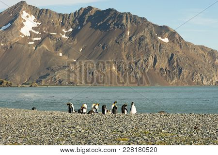 King Penguins On A Pebble Beach That Are Resting, Grooming, Preening And Standing While Facing The S