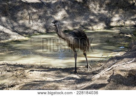 The Young Emu Is Walking Out Of The Billabong After  Cooling Off From The Blistering Heat