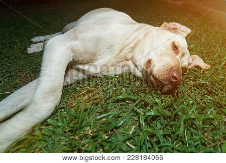 Light Brown Labrador On Grass Lay In Lazy Pose. Chill Labrador Dog