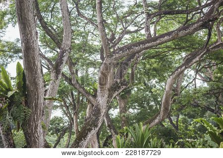 Chaotic Thicket Of Many Bent Tropical Trees Branches