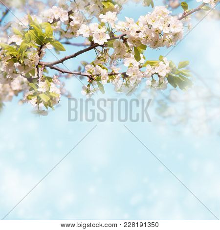 Soft Wallpaper With Blossom Plum Tree. Springtime. Flowers Nature Background With Blooming Garden. B