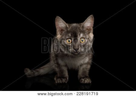 Cute Gray Kitten Curious Stare In Camera On Isolated Black Background