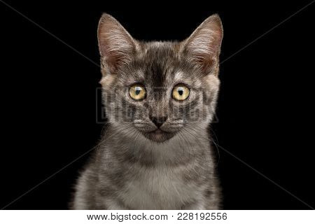 Closeup Portrait Of Gray Kitten, Stare In Camera On Isolated Black Background