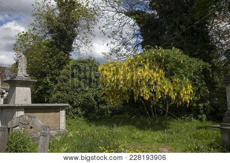 London, England - July 12, 2017 Gravestones In Tower Hamlets Cemetery Park London And Flowering Acac