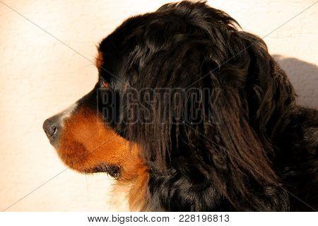 Bernese Mountain Dog Puppy Side Face Closeup
