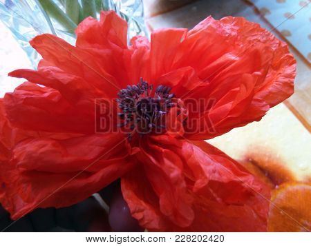Foto Of Flower Red Poppy With  Stamen
