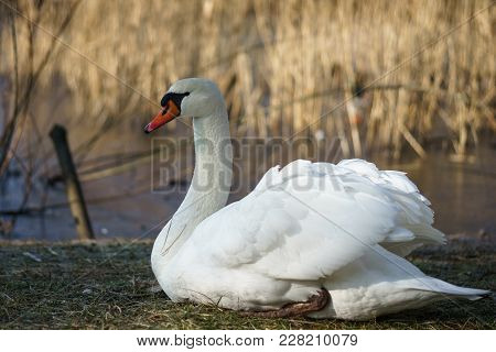 A Large White Swan (cygnus Olor) Sits On The Shore Of A Pond.