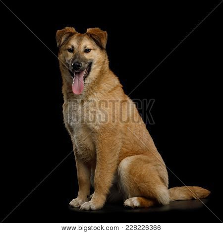 Cute Mongrel Dog Sitting And Wait, Looking In Camera, Isolated On Black Background