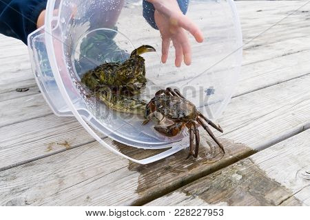 European Shore Crab Fishing Released
