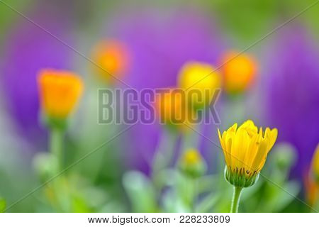 Close Up View Of Calendula Flower Over Blur Background