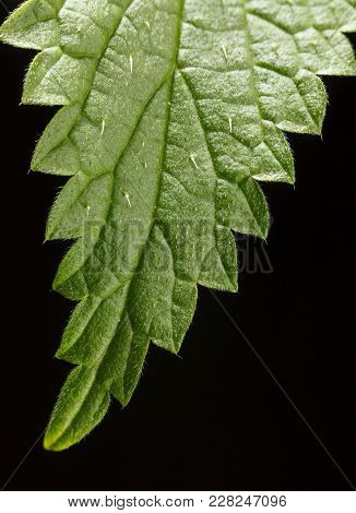 Macro Of Stinging Or Common Nettle (urtica Dioica) Leaf, Vertical, Over Black Background,  Stinging