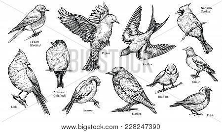 Bird Hand Drawn Vector Illustration. Flying Popular Spring Birds As Swallow, Robin, Cardinal And Oth