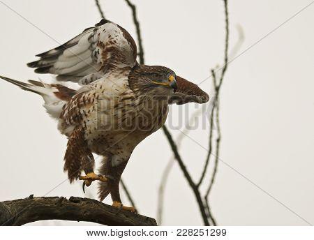 A Ferruginous Hawk Close Up, Buteo Regalis, On An Old Snag