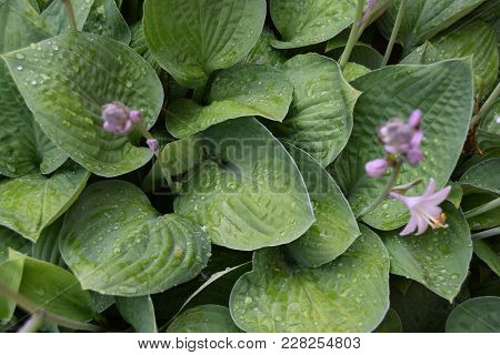 Variegated Hostas In Bloom Hosta Plants Close To Flowering Stage