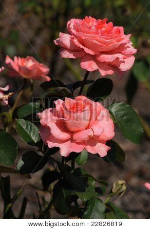 Rose-Waiheke (Grandiflora 1975)