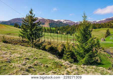 Spruce Trees On The Meadow In Mountains. Beautiful Countryside With Snowy Tops Of Mountains In The D