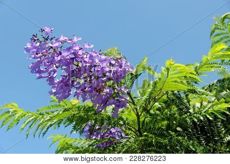 Jacaranda Mimosifolia With Purple-blue Flowers Against The Blue Sky. It Is A Sub-tropical Tree Nativ