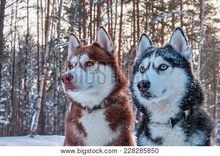 Two Beautiful Husky. Beautiful Portrait For Lifestyle Design. Portrait Beautiful Cute Siberian Husky