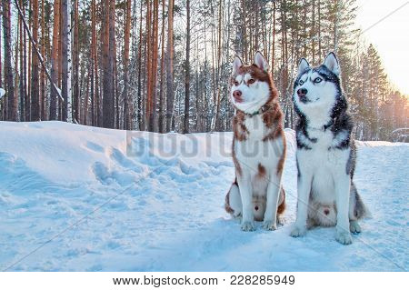 Beautiful Portrait Two Husky On Winter Background. Portrait Beautiful Red And Black Siberian Husky.