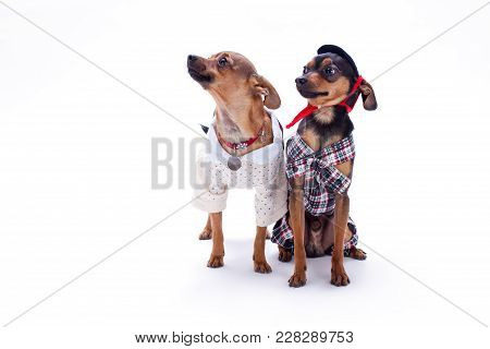 Russian Toy Terrier And Chihuahua. Toy Terrier And Chihuahua In Fashion Apparel Sitting Isolated On