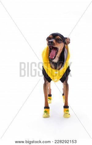 Yawning Toy-terrier, Studio Shot. Funny Toy-terrier In Modern Yellow Apparel Standing Isolated On Wh