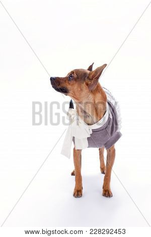 Russian Toy In Clothes, Studio Shot. Brown Sleek-haired Chihuahua Dog Standing In Clothes Over White