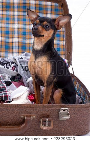 Cutre Terrier Dog Sitting In Suitcase. Portrait Of Beautiful Dog Of Breed Russian Toy-terrier In Tra