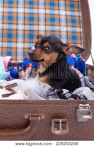 Portrait Of Toy-terrier In Suitcase. Cute Russian Toy-terrier Sitting In Travel Valise With Clothes.