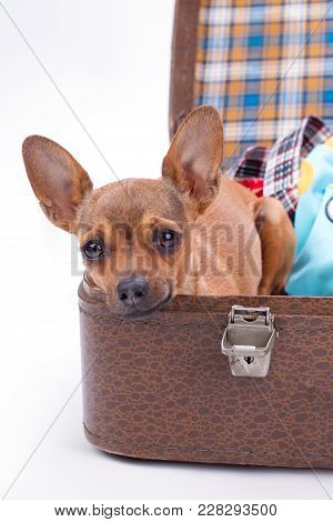 Cute Russian Toy Chihuahua In Travel Suitcase. Lovely Brown Chihuahua Dog Sitting In Travel Bag With