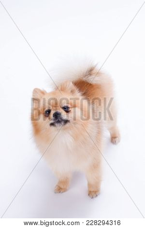 Studio Shot Of Lovely Pomeranian Spitz. Miniature Pomeranian Spitz Puppy Over White Background. Beau