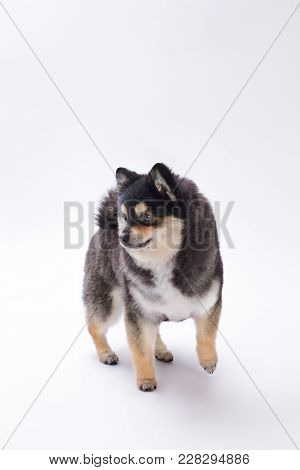 Little Dog Of Breed Pomeranian Spitz. Cute Black And White Purebred Pomeranian Spitz Isolated On Whi