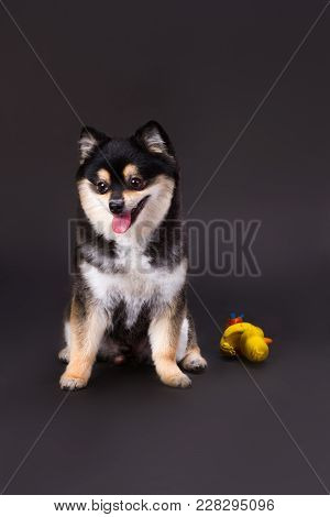 Cute Pomeranian Spitz, Studio Shot. Lovely Black And White Fluffy Spitz On Dark Background With Yell