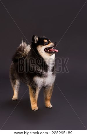 Adorable Young Spitz, Studio Portrait. Cute Black And White Pomeranian Spitz Standing On Dark Backgr