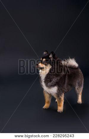 Lovely Fluffy Spitz, Studio Shot. Two-colour Pomeranian Spitz Posing On Dark Background, Studio Port