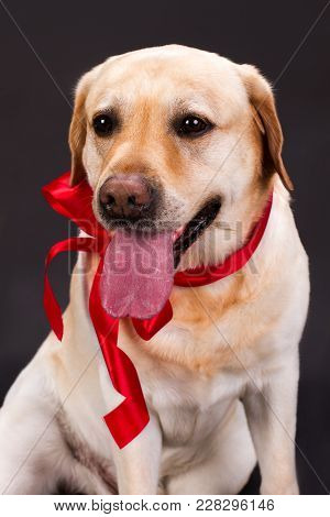 Portrait Of Cute Labrador With Red Ribbon. Beautiful Yellow Labrador Retriever With Stick Out Tongue