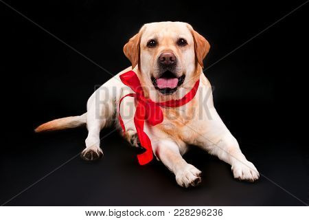Lovely Puppy Labrador With Red Bow. Adorable Blonde Labrador Puppy With Red Ribbon Lying On Black Ba