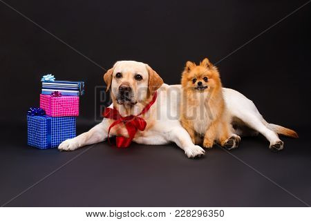 Lovely Yellow Labrador And Pomeranian Spitz. Cute Blonde Labrador Retriever With Red Ribbon On Neck